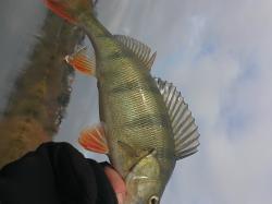 Barsch: schlag auf schlag und nur gutefische