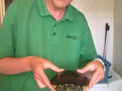 Äsche: Florrida Schmuck Schildkröte
