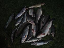 Regenbogenforelle: 13 kg Forellen