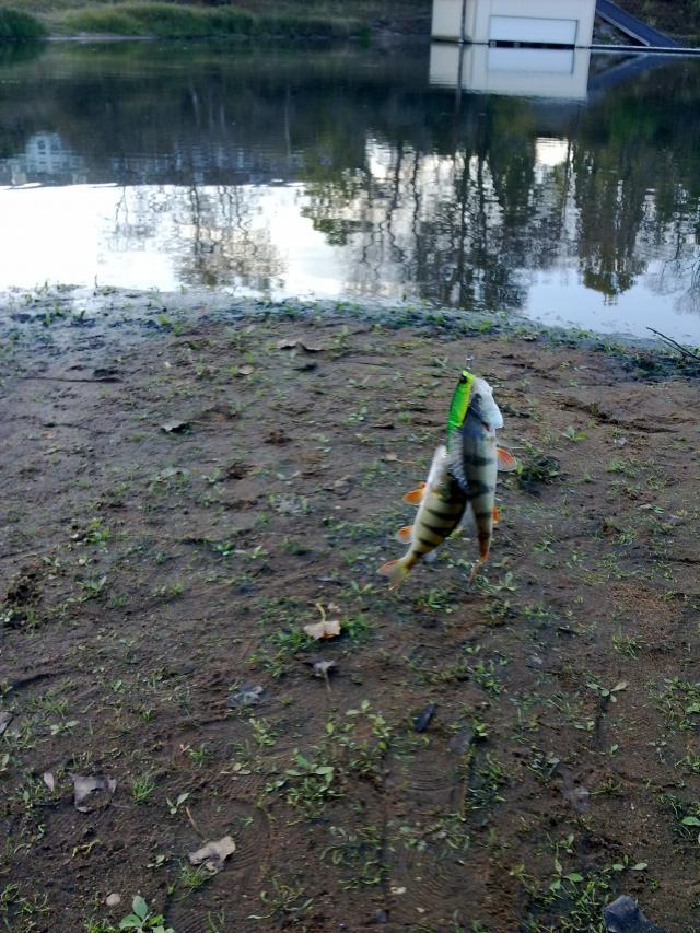 Barsch: ein köder 2 fische