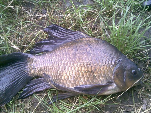 Karausche: Schönster Fisch